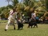 031 A Cuban Dog Show