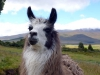 19- This llama didn\'ts cease to look at me.