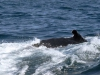 29- On the boat from Puerto 29- Lopez to the Isla de la plata. Several whales accompanied us.