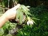 20-orquidea-epidendrum-nocturnum