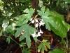 55-begonia-semperflorem-sp