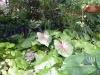 57-begonias-y-calocacias