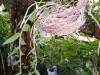 7-dendrobium-afido-o-orquidea-cascada
