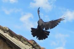 pigeons 4