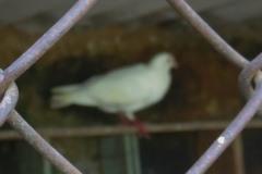 Pigeons 6