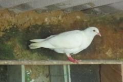 pigeons 7
