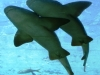 22-tiburones-gatas