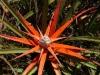 bromelia serra en flor