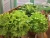 vegetales-4