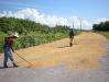 03-Campesinos drying their rice crop.