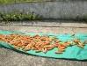 13- Drying corn.
