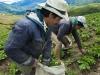 sembrador de papas