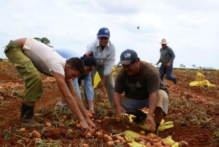 Cuba Potato Harvest Spring 2009