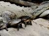 Tender Pumas and Crocodiles