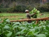 Tabaco grower in Viñales. Photo by Sayuri Correa
