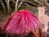 flor-del-arbol-que-le-da-nombre-al-anfiteatro-Las-Carolinas.