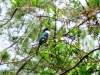 19-fauna-endemica-tocororo