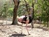 24-avestruz