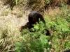 35-oso-negro