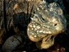 32-Male iguana