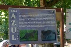 PARA-QUE-SEPAN-UN-POCO-MAS-DE-NUESTRA-RAZA-AZUL-CUBANO.