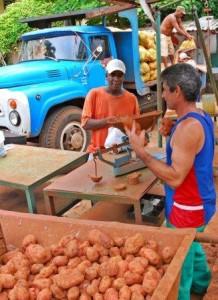 The potato harvest has begun. Photo: Caridad