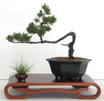 Bonsai by Manuel Paniagua