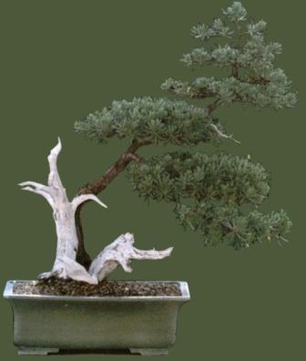 Bonsai grown by Jorge L. Guerra