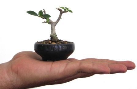 Nancy Gutierrez laurel bonsai