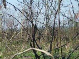 The thorny Marabu shrub tree has taken over some areas.