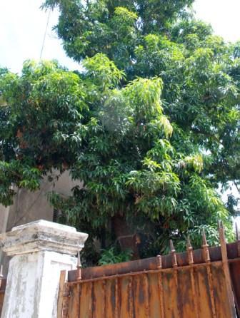 Mango Tree in Havana - Photo: Caridad