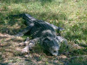 Cuban crocodile. Photo: commons.wikipedia.org