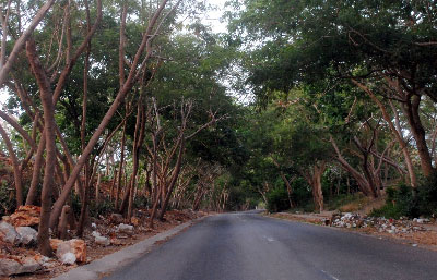 Once an invader, Leucaena reigns in Cuba's neighborhoods today.
