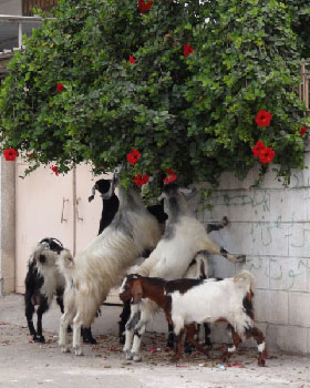 Goats-eating-flowers