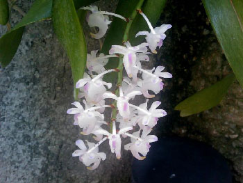 Cultivating orchids in Cuba.