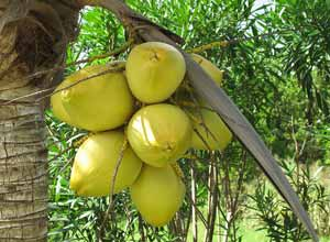 Serious debate seems to surround the development of Cuba's coconut industry.