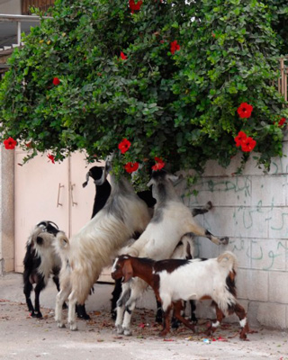 Goats eating flowers. Gaza photo by Julie Webb-Pullman