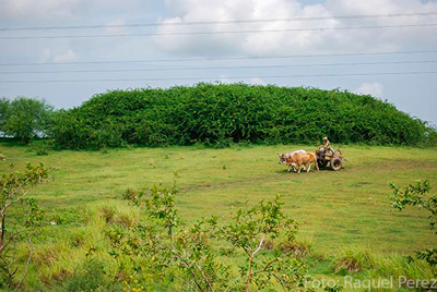 The University of Camaguey reports that, just like bagasse, marabou, a shrub that has spread across the Cuban countryside, could be used to generate electricity.