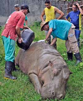 The hippopotamus during the sedation process at the Boyeros Zoo in Havana.