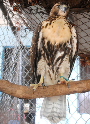 Hawk in a back yard cage at 23rd and F Streets in Vedado.