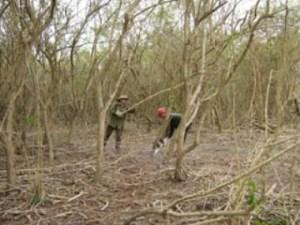 Clearing marabu.  Photo: translatingcuba.com