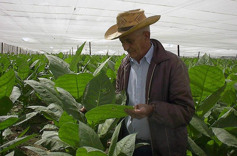 Farmer Alejandro Robaina gave Fidel Castro the key to improving tobacco harvests. Unfortunately, agriculture authorities seldom listen to farmers. Photo: Raquel Perez Diaz.