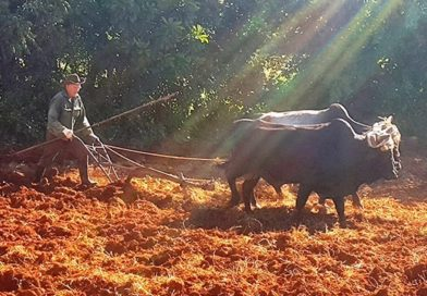 As Tractors Grind to a Halt, Cuba Returns to Oxen