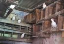 Aleido's Love for his Pigeons in Matanzas, Cuba