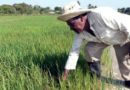 Rice Production in Cuba – What do the Stats Say?