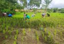Weeding our Organic Rice, Ometepe – Photo of the Day