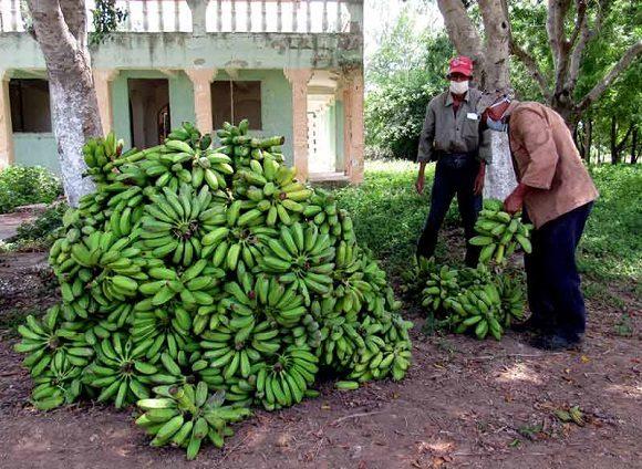 Intensive Erntearbeiten, um Ernteverluste zu vermeiden, fanden bereits in Holguin statt. | Bildquelle: https://t1p.de/p3nh ©  | Bilder sind in der Regel urheberrechtlich geschützt
